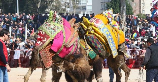 Bayraklı'da deve güreşleri coşkusu