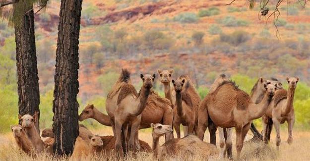 """Avustralya'da """"fazla su içiyorlar"""" diye 5 günde 5 bin yabani deve öldürüldü!.."""