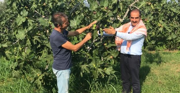 Siyah incir Türkiye'den 45 ülkeye ihraç ediliyor