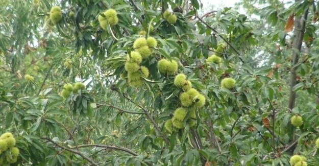 Mevsim Kestane Mevsimi: Uludağ'ın yamaçlarında hasat başladı