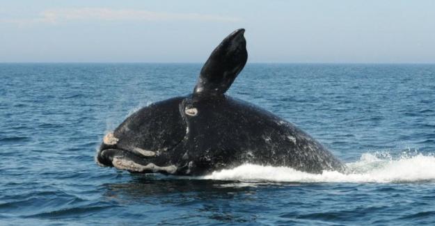 Balinaların neslinin tükenmesi tehlikesi 'gerçek ve yakın'