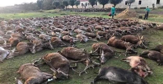 Portekiz'de aşağılık bir katliam: 540 vahşi geyik iki günde öldürüldü!..