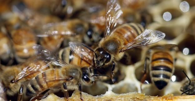 Bal Arılarının Şaşırtıcı Düzeydeki Demokrasi Kültürü