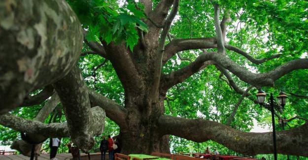"""BURSA TARİHİ ULU ÇINARI: """"Gökyüzünü Kucaklayan Tek Başına Bir Orman"""""""