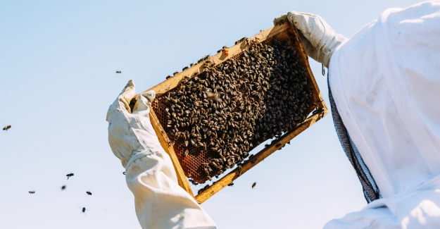 Arılar Arasında Yeni Hastalık: Toplu Ölüm, Diğer Canlıları da Riske Atıyor