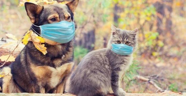 Evcil kedi ve köpeklerde corona virüs yaygın olarak görülüyor