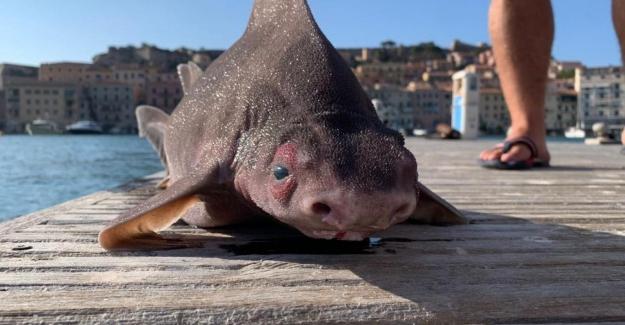 """Akdeniz'de """"domuz gibi homurdanan"""" yassı kafalı köpekbalığı bulundu"""