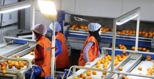 Meyve sebze ve mamulleri ihracatı 2.4 milyar dolara tırmandı