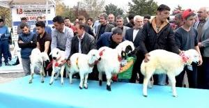 """Malatya'nın En Güzel Kuzusu"" seçildi."
