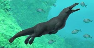 Peru'da 43 milyon yıllık, dört ayaklı balina fosili bulundu