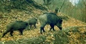İnegöl'de yaban domuzları markete girip karınlarını doyurdu