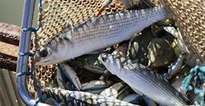 """3-4-5 Nisan'da """"Evde Hayat, Sofrada Balık"""" Kampanyasında maliyetine balık satışları"""