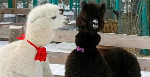 Koronavirüs Sibirya'daki hayvanat bahçesine yaradı: 'Bebek patlaması' yaşandı
