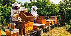 Dünyada çam balı üretiminin yüzde 90'ı Türkiye'den