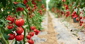 Irak'a taze domates ihracatı serbest