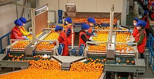 Türk mandalinasına hücum: 1 ayda 110 milyon dolarlık mandalina ihraç edildi