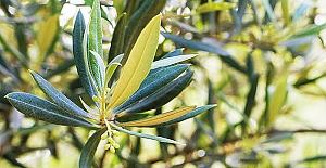 Corona'ya karşı Zeytin Yaprağı, Hastanelerde de kullanılmaya başlanıldı