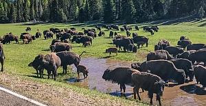 ABD Büyük Kanyon'daki 400 bizonu öldürecek gönüllüler aranıyor