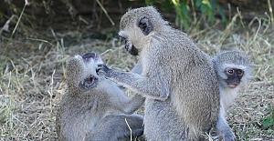 Hasta maymunların sosyal mesafeye uyduğu ortaya çıktı